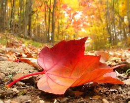 autumn-falling-leaf-3