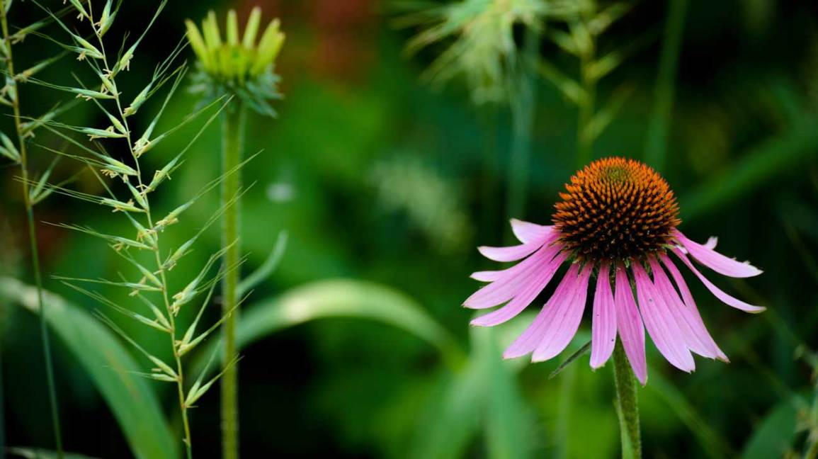 echinacea-1296x728-feature
